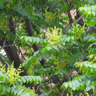 IMG_4218 - stink tree blossoms