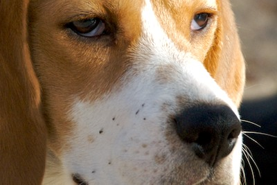 DSC_0834 - Version 32011-02-17-Beagle-sparky headshot -©2011 pennycherubino© 2011 Penny Cherubino (1)
