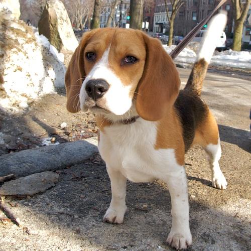 IMG_2265 - Version 22011-02-17-Beagle-sparky -©2011 ed cherubino© 2011 Penny Cherubino