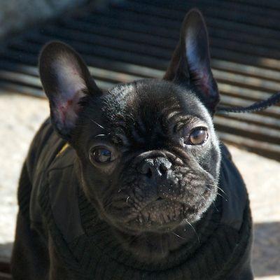 DSC_0718 - Version 22011-02-09-Elvis-frecn Bulldog-puppy© 2011 Penny Cherubino