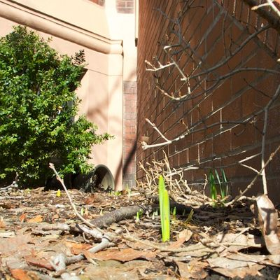 IMG_2308 - Version 22011-02-19Spring growth, tulip sprouts© 2011 Penny Cherubino