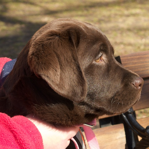 IMG_2733 - Version 22011-03-20Dodie-chocolate-lab-service-dog-puppy-NEADS-© 2011 Penny Cherubino© 2011 Penny Cherubino