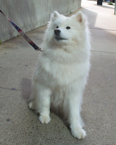 IMG_1960 - Version 22011-09-10-harvard-samoyed-sunday-dog-© 2011 Penny Cherubino (1)