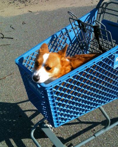 Image - Version 22011-10-10-alex-shopping-cart-dog© 2011 Penny Cherubino