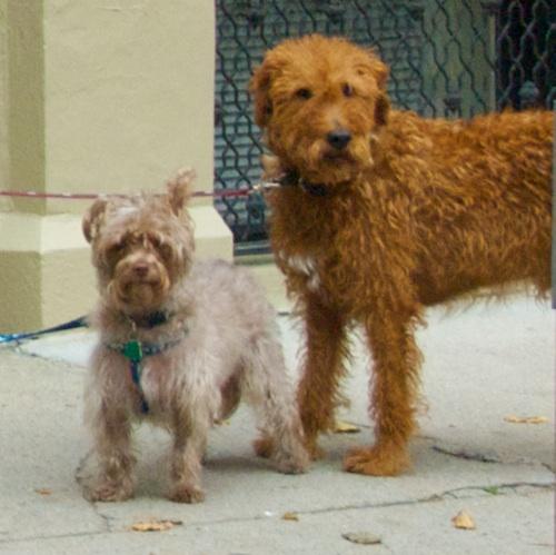 DSC_3815 - Version 52011-10-18Halloween-dogs-trick-or-treat-back-bay--boston© 2011 Penny Cherubino