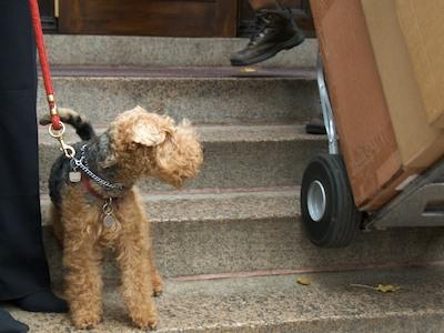 DSC_4730 - Version 22011-11-29-cian-welch-terrier-boston-© 2011 Penny Cherubino