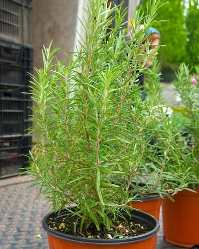 DSC_7806 - Version 22011-05-19-rosemary-herbs-gilsons-prudential-farmers-market-©2011 Penny Cherubino© 2011 Penny Cherubino