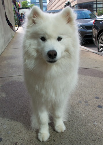 IMG_1943 - Version 22011-09-10-harvard-samoyed-sunday-dog-© 2011 Penny Cherubino
