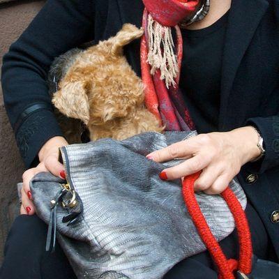 DSC_4770 - Version 32011-11-29-cian-welch-terrier-boston-© 2011 Penny Cherubino (1)