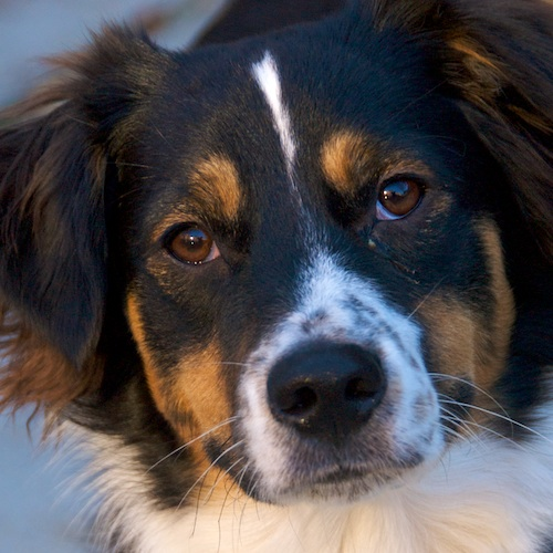 DSC_5460 - Version 22011-12-11-remy-mixed-breed-Boston-sunday-dog-© 2011 Penny Cherubino