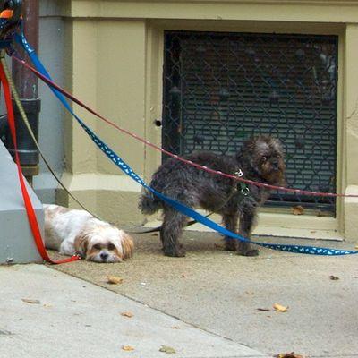 DSC_3820 - Version 22011-10-18Halloween-dogs-trick-or-treat-back-bay--boston© 2011 Penny Cherubino
