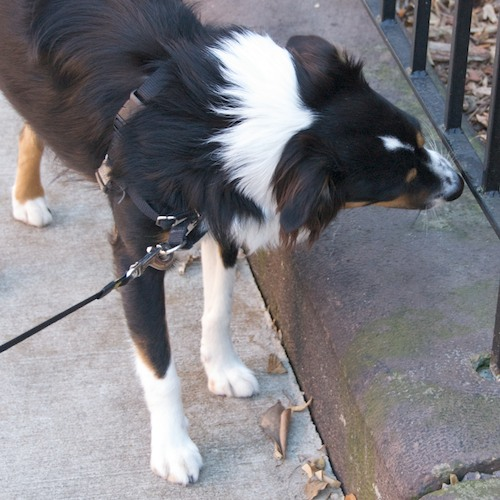 DSC_5478 - Version 22011-12-11-remy-mixed-breed-Boston-sunday-dog-© 2011 Penny Cherubino