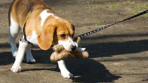 PMC_8494 - Version 22012-03-18-beagle-with-toy-walking-park-© 2011 Penny Cherubino