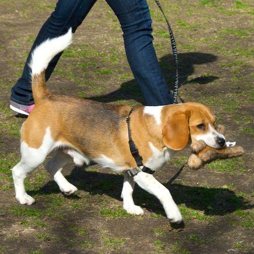 PMC_8498 - Version 22012-03-18-beagle-with-toy-walking-park-© 2011 Penny Cherubino