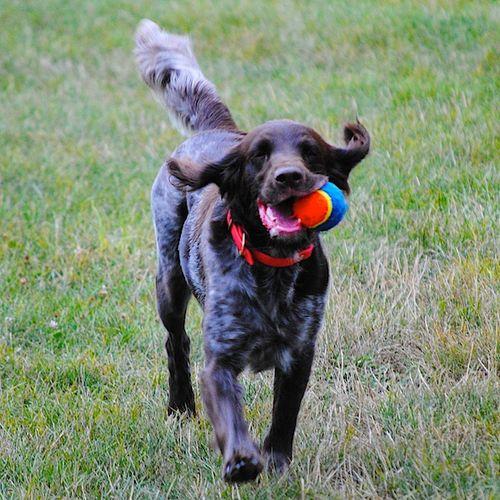 DSC_0438 - Version 22010-08-16-izzy-playing-fetch-© 2011 Penny Cherubino