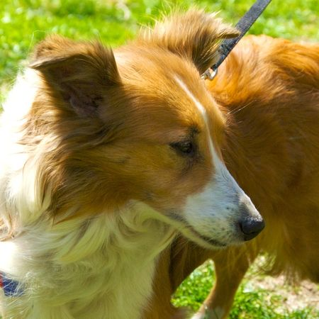PMC_1771 - Version 22012-04-19-shelty-shetland-sheepdog-ginger-rescue-© 2011 Penny Cherubino