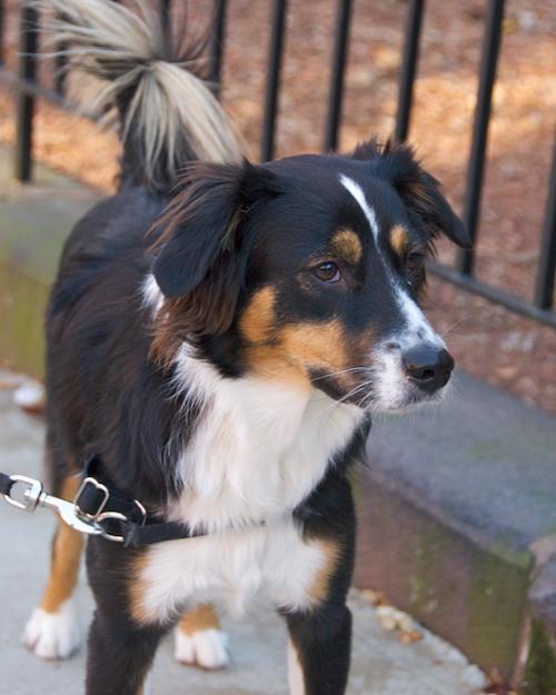 DSC_5486 - Version 22011-12-11-remy-mixed-breed-Boston-sunday-dog-© 2011 Penny Cherubino