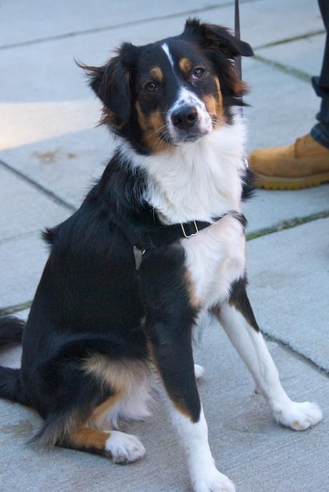 DSC_5468 - Version 22011-12-11-remy-mixed-breed-Boston-sunday-dog-© 2011 Penny Cherubino