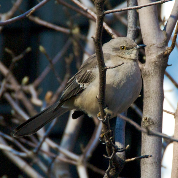 DSC_5849 - Version 22011-12-24-moking-bird-boston-back-bay-© 2011 Penny Cherubino