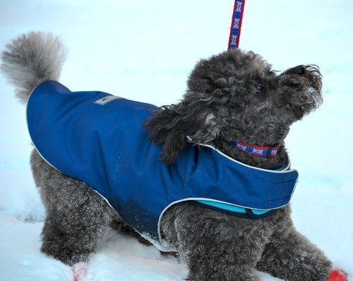 DSC_0751 - Version 22012-01-20-Ollie-sunday-dog-poodle-grey-Boston-© 2011 Penny Cherubino
