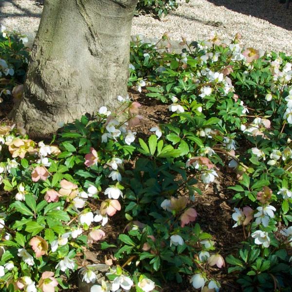 PMC_6989 - Version 22012-02-03-lenten-roses- hellebores-back-bay-boston-february-© 2011 Penny Cherubino