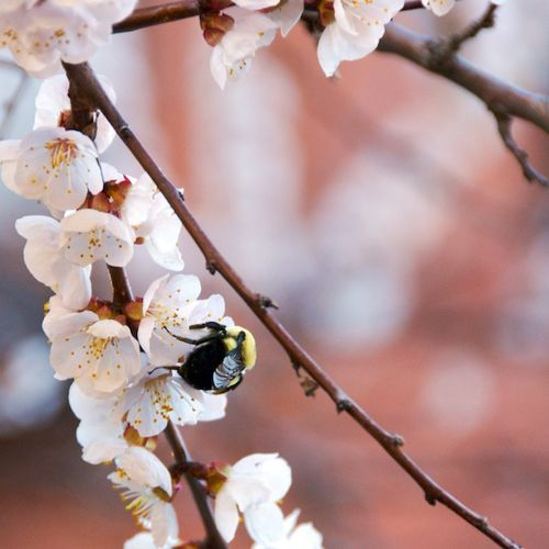 PMC_8955 - Version 22012-03-22-busy-bee-back-bay-boston- © 2011 Penny Cherubino