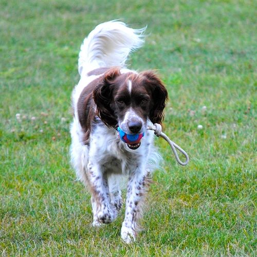 Stark 2010 - Version 22010-08-16-stark-playing-fetch-© 2011 Penny Cherubino