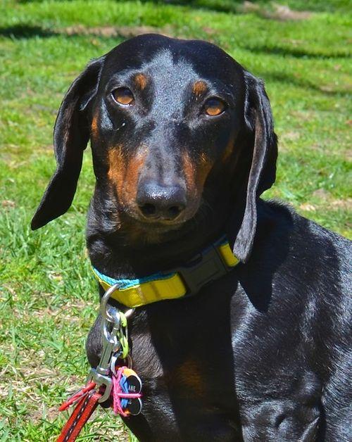 DSC_3373 - Version 22012-04-03-O'Dis-dachshund-Sunday-Dog-Boston-© 2011 Penny Cherubino