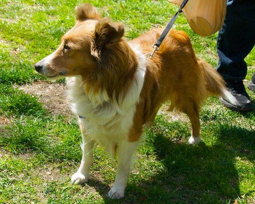PMC_1765 - Version 22012-04-19-shelty-shetland-sheepdog-ginger-rescue-© 2011 Penny Cherubino