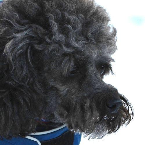 DSC_0734 - Version 22012-01-20-Ollie-sunday-dog-poodle-grey-Boston-© 2011 Penny Cherubino
