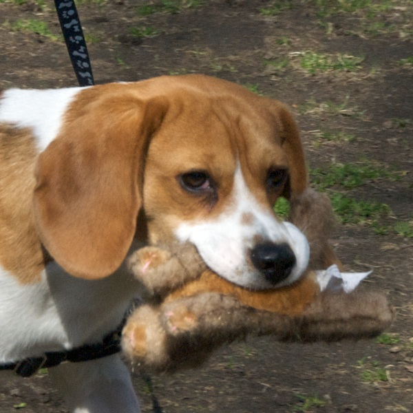 PMC_8499 - Version 22012-03-18-beagle-with-toy-walking-park-© 2011 Penny Cherubino
