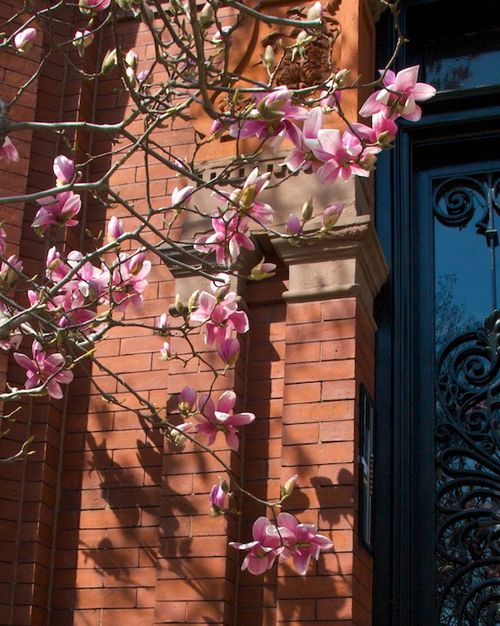 PMC_8563 - Version 22012-03-19-magnolia-commonwealth-Ave-back-bay-early-spring-© 2011 Penny Cherubino