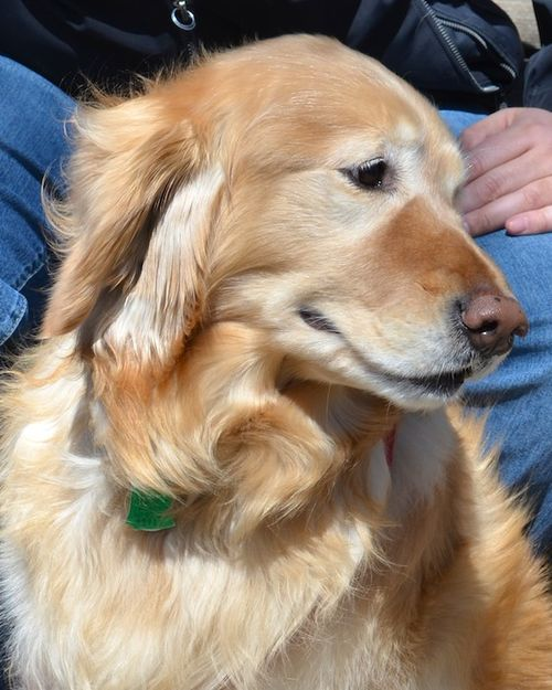 DSC_3481 - Version 22012-04-07-samantha-golden-boston-sunday-dog-© 2011 Penny Cherubino