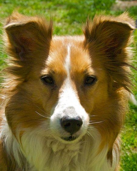 PMC_1757 - Version 22012-04-19-shelty-shetland-sheepdog-ginger-rescue-© 2011 Penny Cherubino