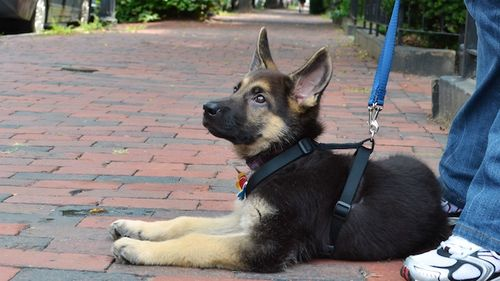 DSC_7561 - Version 22012-08-23-king-german-shepard-© 2011 Penny Cherubino