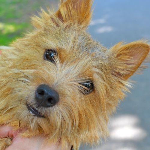 DSC_7781 - Version 22012-09-03-rocky-norwich-terrier-boston-© 2011 Penny Cherubino