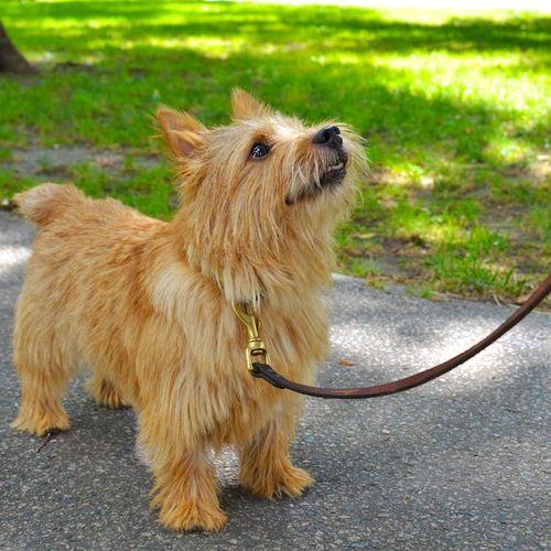 DSC_7793 - Version 22012-09-03-rocky-norwich-terrier-boston-© 2011 Penny Cherubino