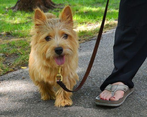 DSC_7798 - Version 22012-09-03-rocky-norwich-terrier-boston-© 2011 Penny Cherubino