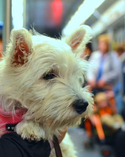 DSC_8084 - Version 22012-09-17-poppy-MBTA-dog on T-westie-© 2011 Penny Cherubino