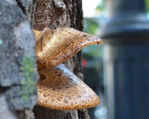 DSC_8109 - Version 22012-09-20-tree mushroom-bracket fungus with scales-© 2011 Penny Cherubino