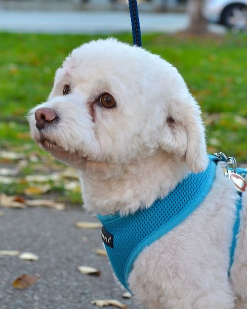 DSC_0436 - Version 32012-11-22-Ruby-bichon-poodle-mix-rescue-© 2011 Penny Cherubino
