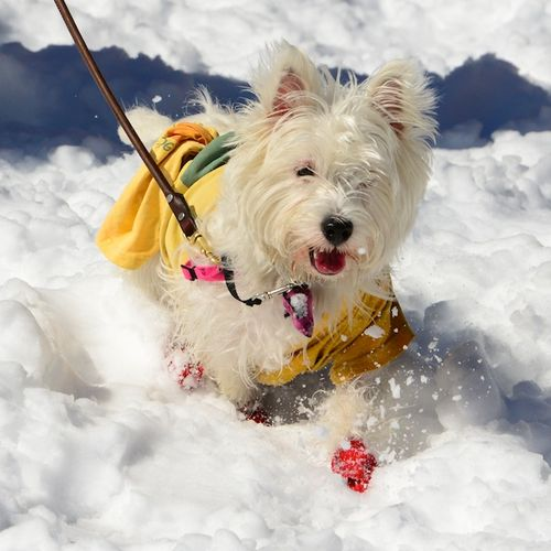 CHE_2590 - Version 22013-03-09-poppy-snow-hopper-westie-boston-© 2011 Penny Cherubino