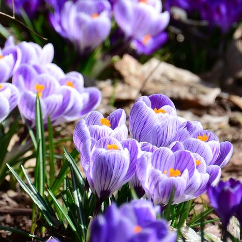 CHE_2989 - Version 22013-03-17-crocus-purple-striped-© 2011 Penny Cherubino