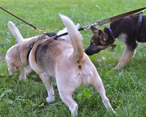 DSC_7645 - Version 22012-08-28-sandy-beagle-Poppy-westie-king-shepard-© 2011 Penny Cherubino
