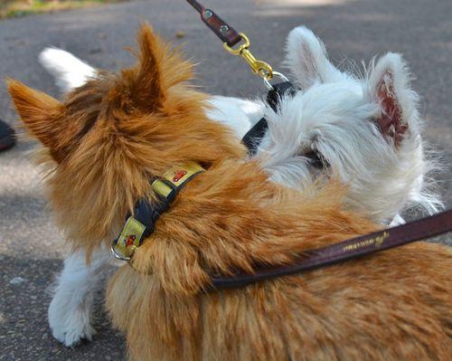 DSC_7787 - Version 22012-09-03-rocky-norwich-terrier-boston-Westie-poppy-© 2011 Penny Cherubino