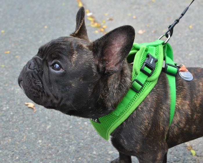 DSC_8586 - Version 22012-09-26-Ollie-french-bulldog-puppy-5 months- waiting-© 2011 Penny Cherubino