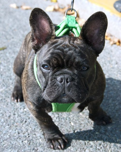 PMC_6478 - Version 22012-09-27-Ollie-french-bulldog-puppy-5 months=poppy-westie-playing-© 2011 Penny Cherubino