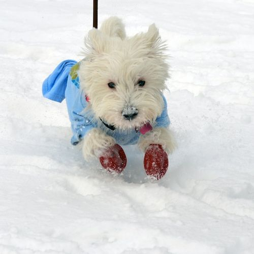 CHE_0095 - Version 22012-12-30-poppy-westie-snow-fun-salt-danger-boots© 2011 Penny Cherubino