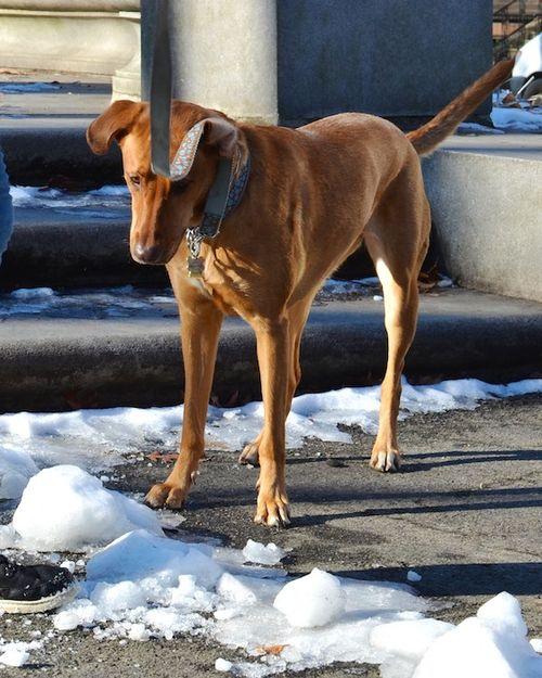 DSC_1589 - Version 22013-01-07-kona-snow-dog-© 2011 Penny Cherubino