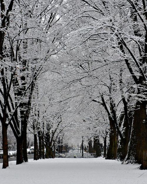 CHE_1189 - Version 22013-01-16-snow scene comm ave-mall-tow rows of trees-© 2011 Penny Cherubino